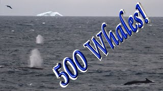 A sighting of 500 Whales!