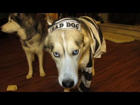 Dog Freezes in Halloween Costume Funny Must See - Siberian Husky
