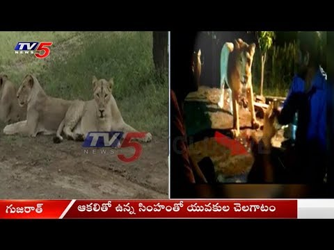 ఆకలితో ఉన్న సింహంతో యువకుల చెలగాటం..! | Youth Plays With Lioness At Gir Forest | TV5 News
