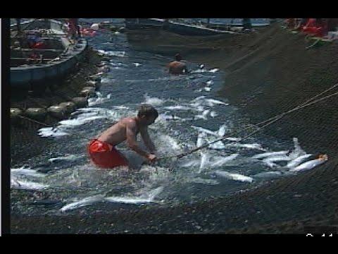 Las almadrabas. Pesca tradicional del atún
