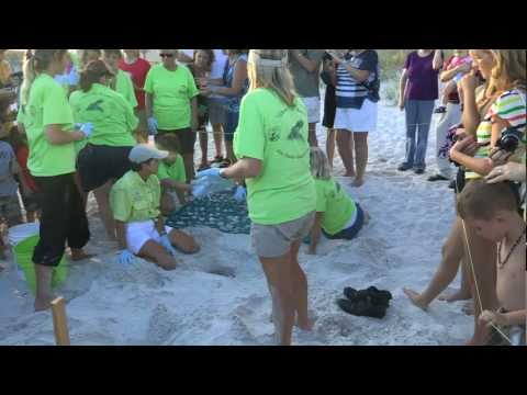 Loggerhead Sea Turtle Nest Excavated Orange Beach AL