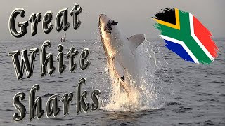 Great White Sharks in False Bay