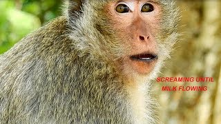 Breaking Heart! Mommy Monkey ELSA Screaming For Baby ELENO Until Milk Flowing,