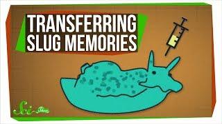 Scientists Just Transferred Memories... Between Sea Slugs