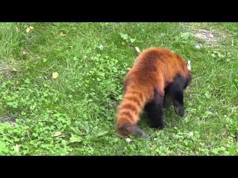 2011年7月24日 釧路市動物園 レッサーパンダ1