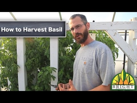 Growing And Harvesting Basil