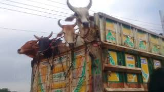 95   Cow Market Bangladesh   Eid ul-Adha   Gorur Haat 2017   Bull Qurbani Bangladesh