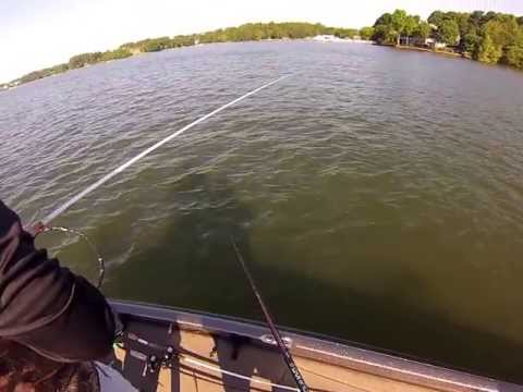 Lake Norman Spotted Bass Fishing Carolina Rig