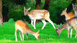 Fallow deer and red deer in the colorful autumn forest