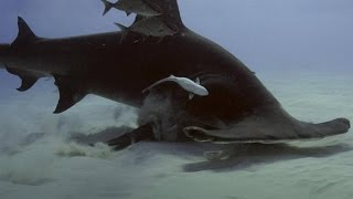Hammerhead vs. Stingray