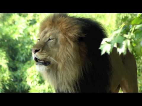 Lion's Roar (national Zoo In Washington D.c.) video