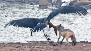 Jackal Kills Stork in an Epic Battle