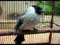 burung kutilang gacor - suara kicau pikat burung kutilang panjang