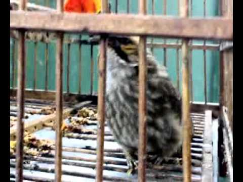 ราชา ตระกูลนกปรอท นกปรอดแม่ทะ2.mp4