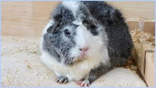 Signs Your Guinea Pig Is Happy