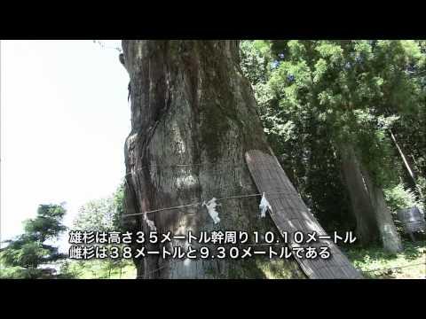 岐阜県の巨木・銘木03 久津八幡神社の夫婦スギ