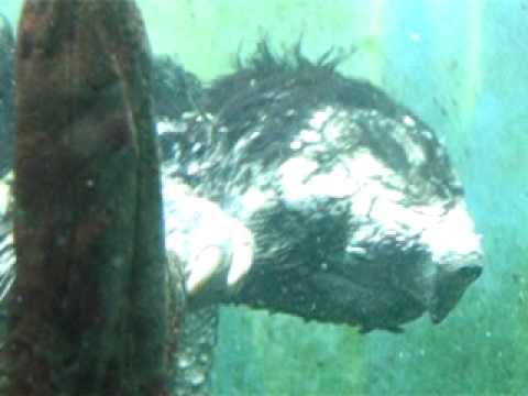 snapping turtle tongue. Alligator Snapping turtle at
