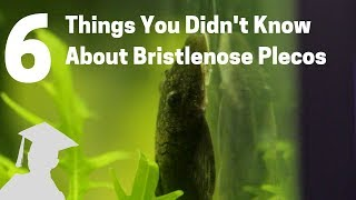 6 Things You Didn't Know About Bristlenose Plecos (Catfish, Ancistrus)