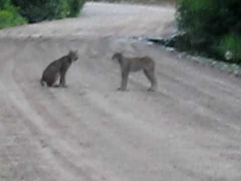 cougar quebec site rencontres