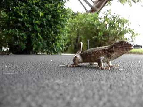 Lizards Eat Worms Lizard Eats a Super Worm