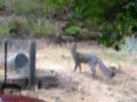 Gray Fox Call