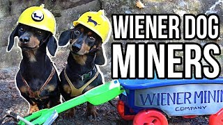 WIENER DOG MINERS! - Cute Dachshunds Digging for Squeaky Balls!