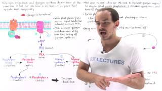 Reciprocal Regulation of Glycogen Metabolism
