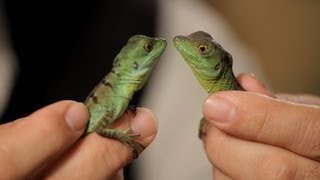4 Cool Facts about Basilisks | Pet Reptiles