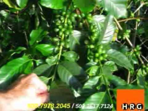 Venta de Fincas en Guatemala Finca de Cafe en Venta