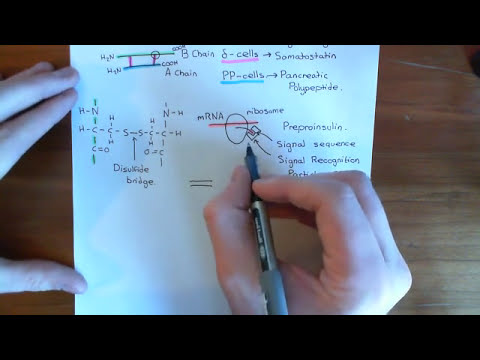 Insulin Synthesis and Secretion Part 2