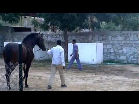Jai Dhwaj - Fateh Stud Farm, Kelwa - Marwari Horse video