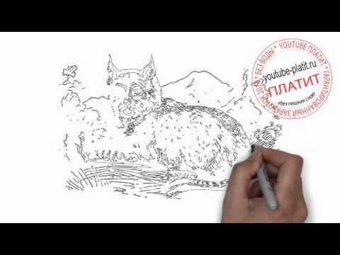 Видео как нарисовать рысь карандашом поэтапно