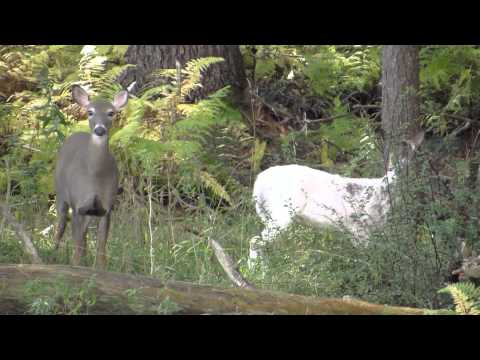 Canon SX50 200x Zoom Test FULL HD Piebald Buck Albino Deer
