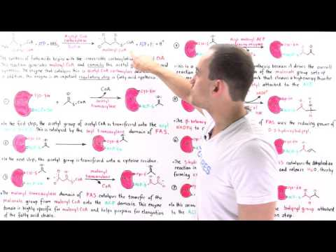 Fatty Acid Synthesis (Part II)