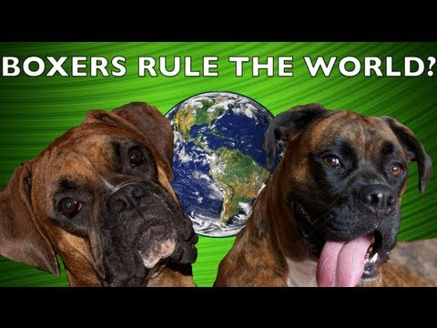 What if Boxers Ran the World? BROCK THE BOXER Dog