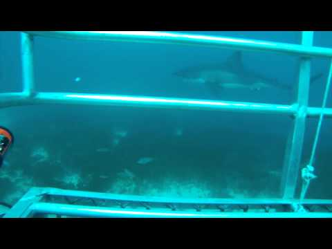 Great White Shark Cage Diving - Neptune Islands, Australia