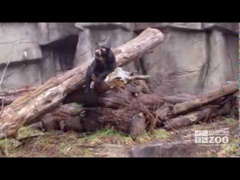 Andean Bear on Branch at Cleveland Metroparks Zoo