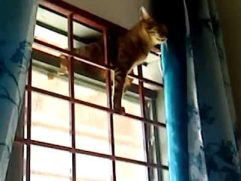 Acrobatic Pregnant Cat! video