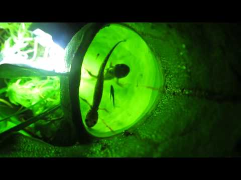 Botanical carnivory: Hungry plants and their salamander prey