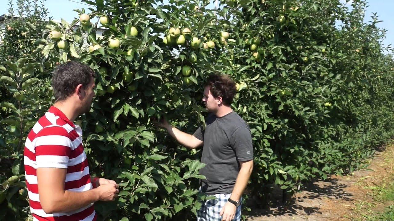 wapń w roślinach dowiedz się o co chodzi, gorzka plamistość podskórna, gpp, auksyny, forum sadownicze, uprawa jabłek, metoda ekssena, przechowywanie, przechowywanie owoców, technologie przechowywania