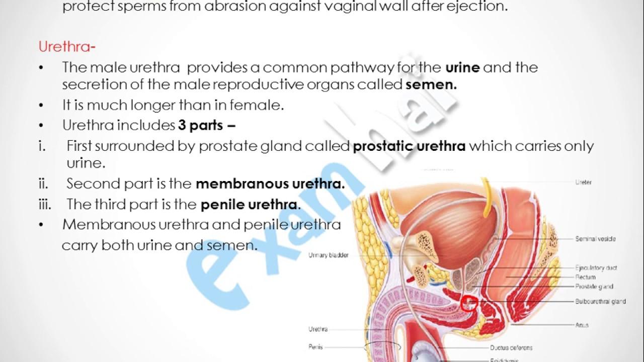 Human reproductive system diagram female
