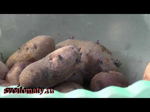 Как вырастить посадочный картофель из семян