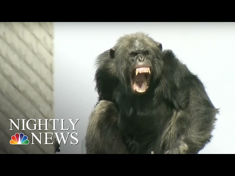 Chimp Escapes Zoo, Leads Police on 2-Hour High-Wire Chase | NBC Nightly News