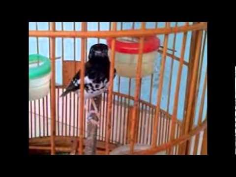 Perawatan Burung Anis Kembang Agar Cepat Gacor video