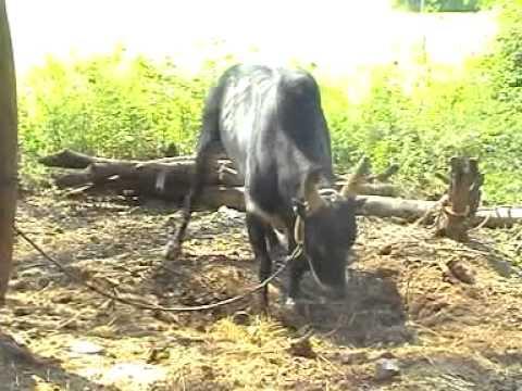Madurai Alanganallur Jallikattu Kalai.mpg video