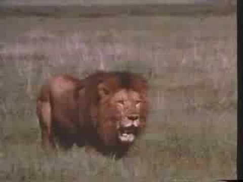 Lion vs 4 Lions