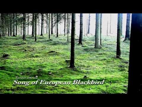 Pine trees & green moss forest in Denmark, prettiest bird song European Blackbird Turdus Merula