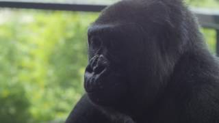 Adult Female Gorilla Joins Houston Zoo Family
