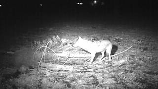 Coyote snagged in Duke #4 foot hold trap
