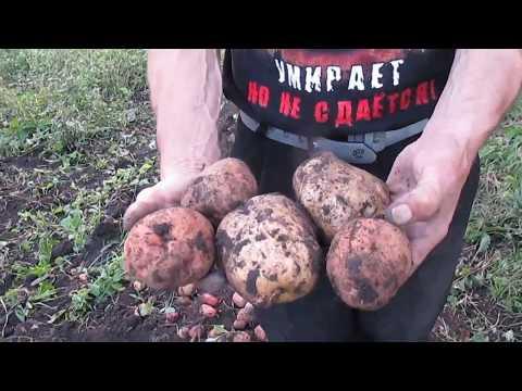 Картошка, копаем правильно и быстро .